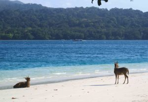 THE DEER LOVES THE BEACH; ONLY HAPPEN ON PEUCANG ISLAND